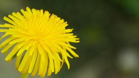 yellow dandelion close-up Live Action