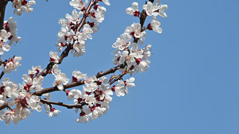 Close up apricot tree blossom over clear blue sky Live Action
