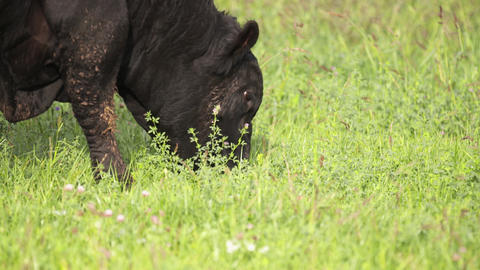 Big cows calmly grazing on meadow and looking for fresh grass Footage