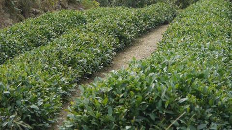 Panoramic of Green tea garden Stock Video Footage