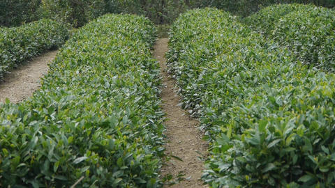 Panoramic of Green tea garden Footage