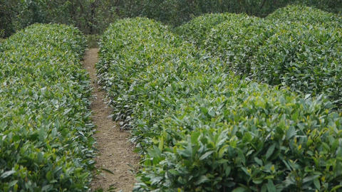 Panoramic of Green tea garden Stock Video Footage