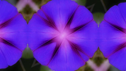 morning glory pattern in lush leaves.agriculture farmland... Stock Video Footage