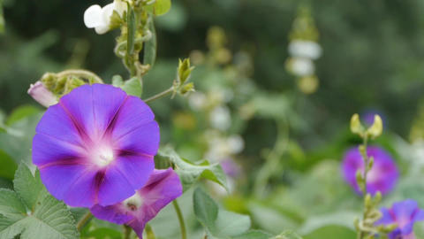 morning glory in lush wild leaves.agriculture farmland at... Stock Video Footage