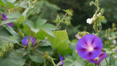 morning glory in lush wild leaves.agriculture farmland at rural Footage