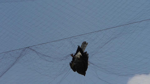 Bird trapped in net,struggling to die in blue sky like fail loser.destruction of Footage