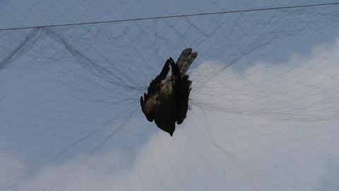 Bird trapped in net,struggling to die in blue sky like... Stock Video Footage