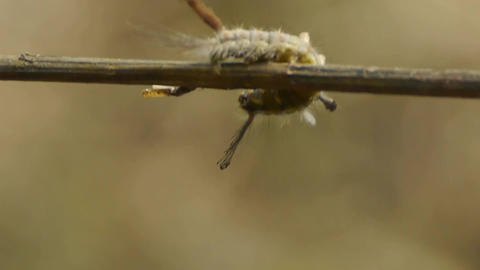 caterpillar on branches Stock Video Footage