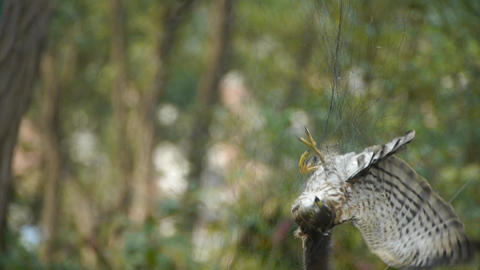 Bird trapped in net,struggling to die in green forest... Stock Video Footage