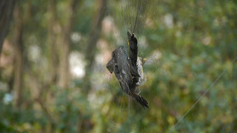 Bird trapped in net,struggling to die in green forest like fail loser.Shaking le Footage