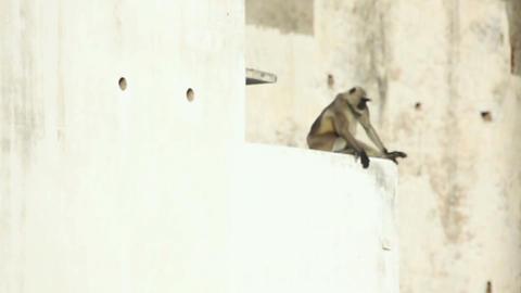 Langur Stock Video Footage
