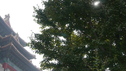 stout rough ginkgo tree trunks & Chinese ancient... Stock Video Footage