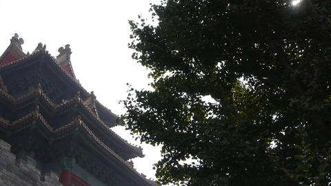 stout rough ginkgo tree trunks & Chinese ancient building,Roof of Forbidden  Footage