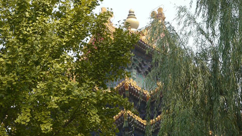 roof of Forbidden City palace.Crown of ginkgo tree & willow.Ancient city Gre Footage