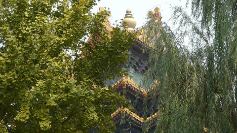 roof of Forbidden City palace.Crown of ginkgo tree &... Stock Video Footage