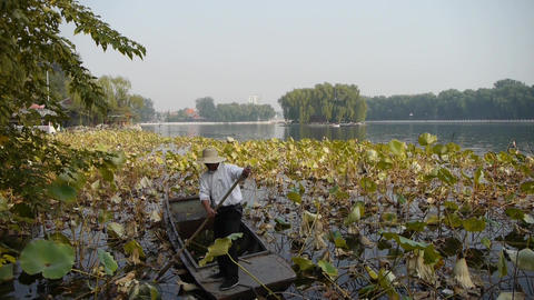 Vast lotus pool,Fisherman on wooden boat clean lake in beijing Footage