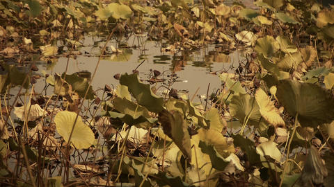 Vast lotus leaf pool in autumn beijing Stock Video Footage