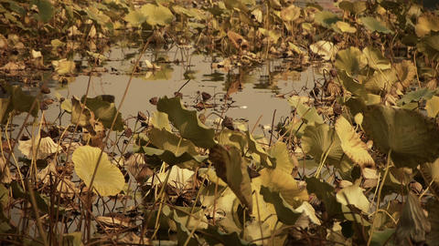 Vast lotus leaf pool in autumn beijing Footage