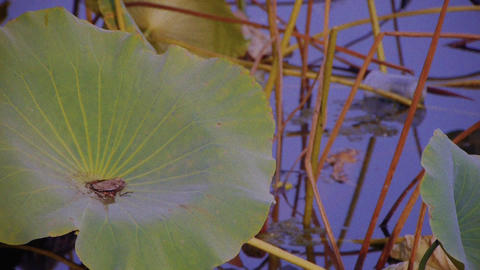 lotus leaf pool in beijing Stock Video Footage