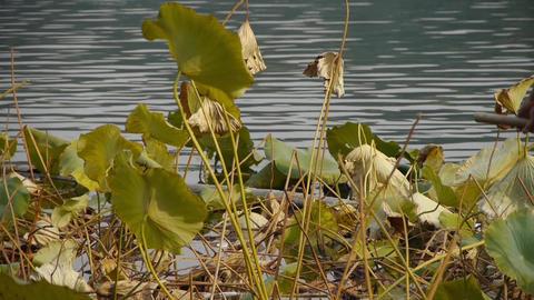 Vast lotus pool,string bag clean lake in beijing Stock Video Footage