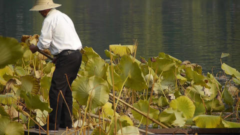 Vast lotus pool,Fisherman on boat clean lake in beijing Footage
