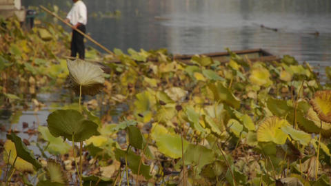 Vast lotus pool,Fisherman on boat clean lake in beijing Stock Video Footage
