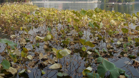 Vast lotus leaf pool in autumn beijing & lake bridge... Stock Video Footage