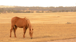 Horse Grazing in a Paddock in the Australian Summe Stock Video Footage