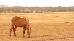 Horse Grazing in a Paddock in the Australian Summe Footage