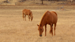 Horses Grazing in a Paddock in the Australian Summ Footage