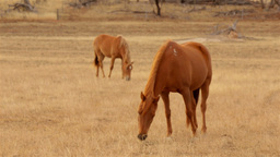 Horses Grazing in a Paddock in the Australian Summ Stock Video Footage