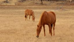 Horses Grazing in a Paddock in the Australian Summ Stock Video Footage