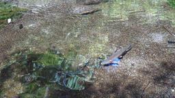 清流を泳ぐ鱒 ビデオ