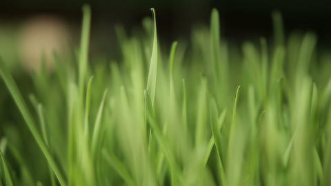 wheat grass Footage