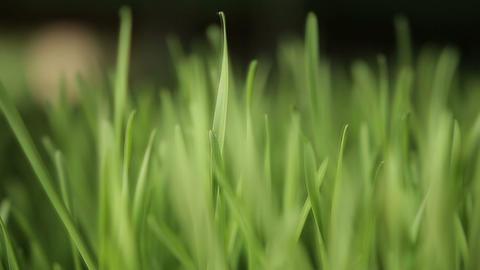 wheat grass ビデオ