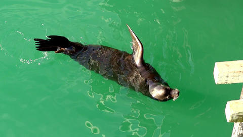 The sea lion floats in the water. The sea-lion is playing in the water with green water Live Action