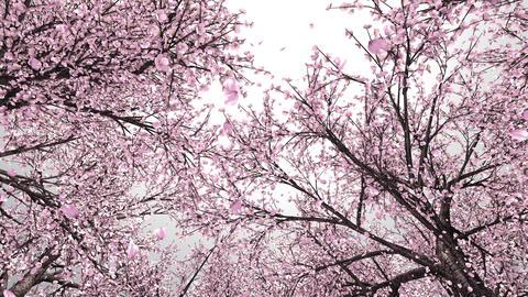 Cherry forest, upward, rotation, loop, white background CG動画