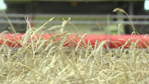 Combine mows ripe ears of wheat, summer crops of bread, agriculture and food industry, close-up Footage