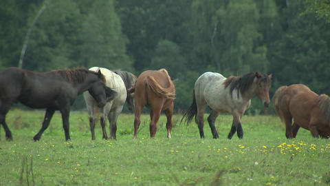 Herd of horses going to pasture, breeding horses, horse Breeding and agriculture, horses eat green Live Action