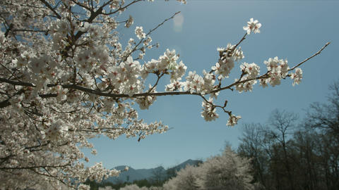 Cherry blossom in Yamanashi Live Action