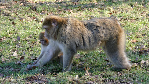 Barbary Macaque Monkey's Feeding Footage
