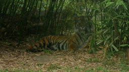 Siberian or Indian tiger, Panthera tigris altaica, sleepy relaxinglow angle Footage