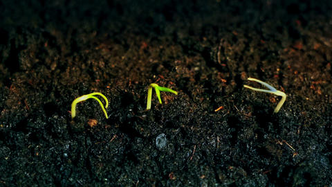 Germination Plants Growing Seeds Sprout Grow, Growth Concept, One plant is blue Live Action