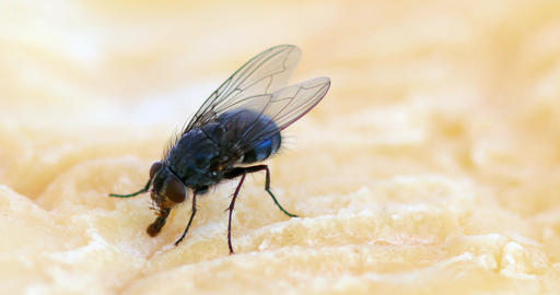 Fly standing on a Piece of Cheese, Normandy, Real Time 4K Live Action