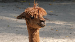 An alpaca. Vicugna pacos. Bad hair day Live Action