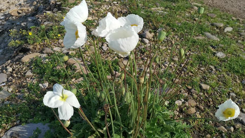 White poppy flowers on the beach in gray stones Live Action