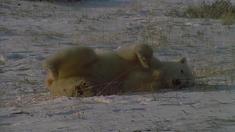 Polar Bear Turns on Snow Footage
