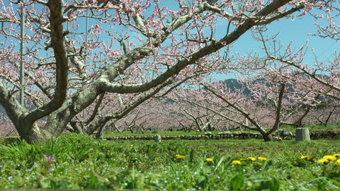 Peach Tree in Yamanashi Live Action