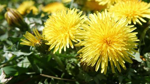 Dandelions in spring Footage