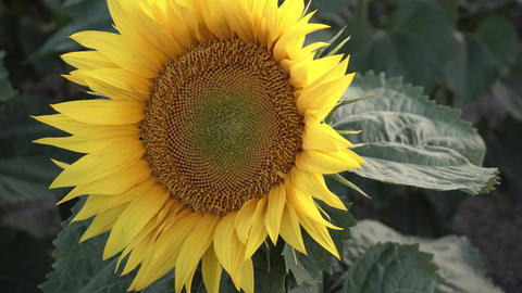 Young Sunflowers in the Field Footage